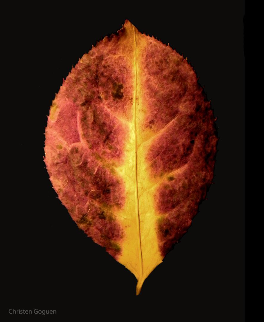 dogwood leaf-cgoguen