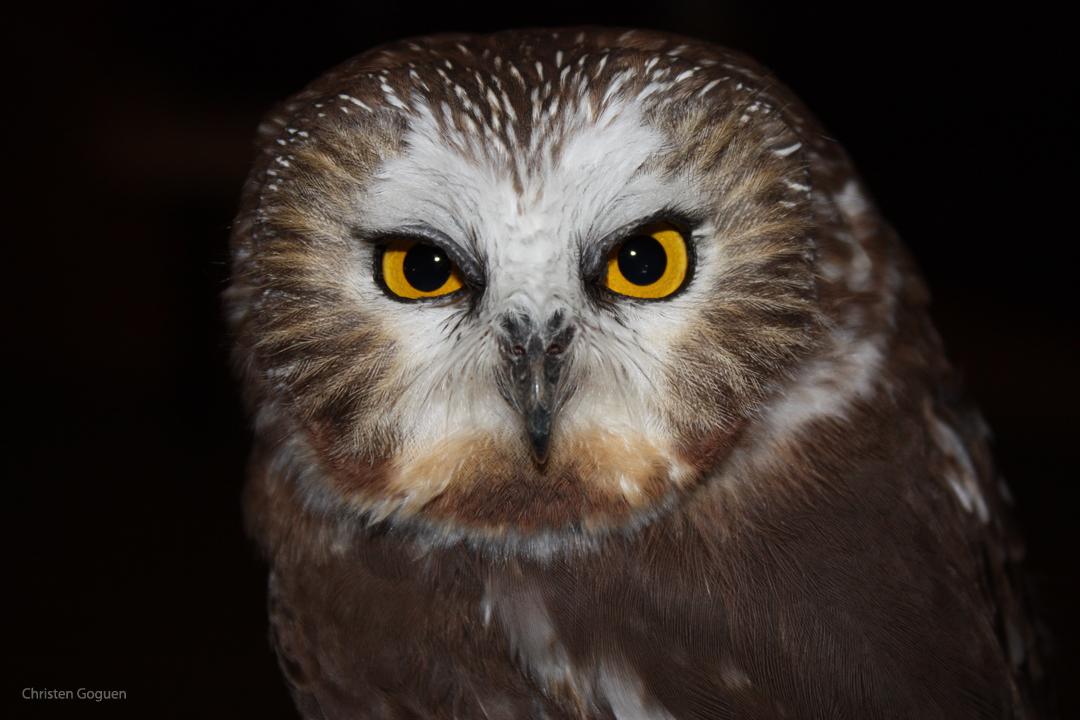 saw-whet owl-cgoguen